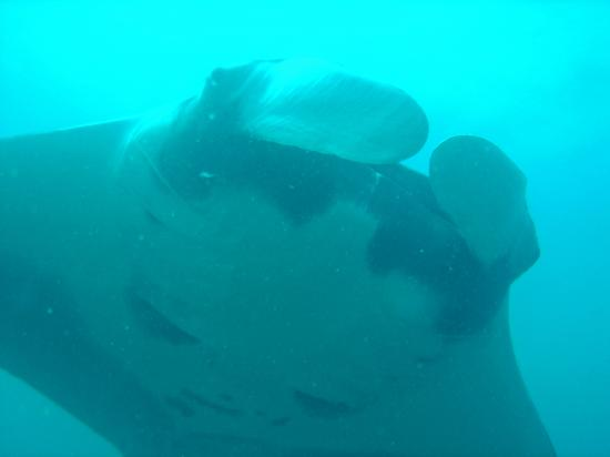 Ocotal Beach Resort: Close encounter with Manta Ray