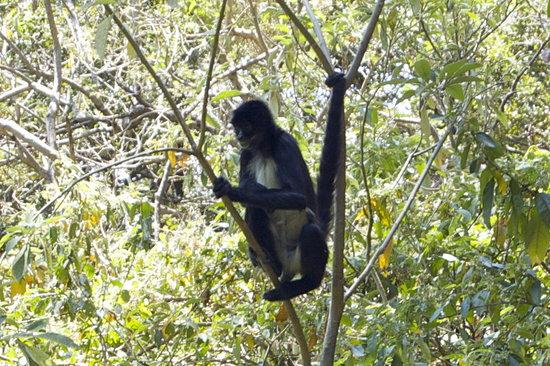 Reserva Natural Atitlan: spider monkey