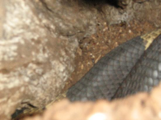 Elephant Sands Botswana: Egyption Cobra in tree