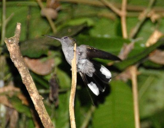 Paramaribo, Suriname: Humming bird