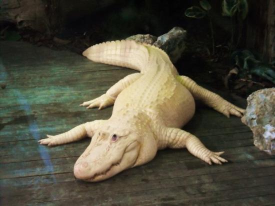 Gatorland : Albino Gator