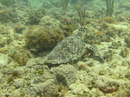 Octopus Diving : One of the many residents of Turtle Reef