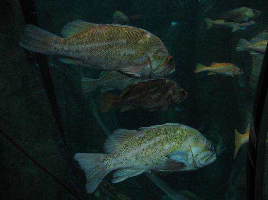 Oregon Coast Aquarium: Rock fish tank...