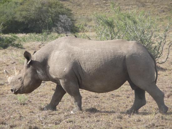 Leeuwenbosch Country House: Rinoceronte