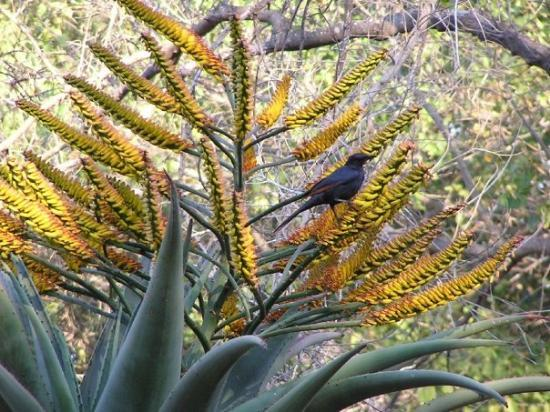 Musina South Africa  city photos : Musina, South Africa: Beautiful plant and a pretty bird