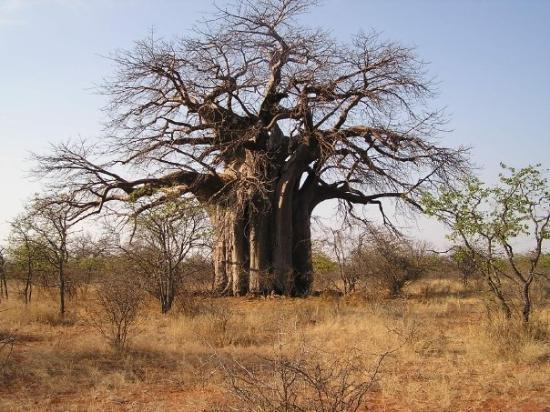 Messina, Sydafrika: African Baobab tree
