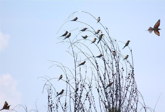 Alankuda Beach: few of the many Bee-Eaters in the premises