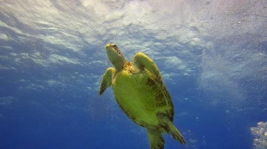 Oahu Diving: Octopus!