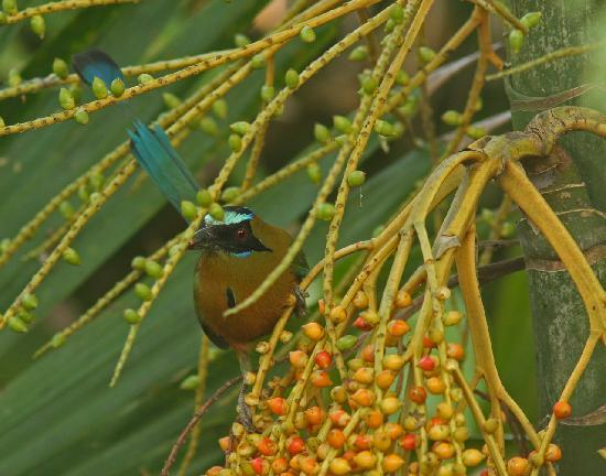 Gamboa Rainforest Resort: Turquoise-crowned Mot Mot (off villa balcony)