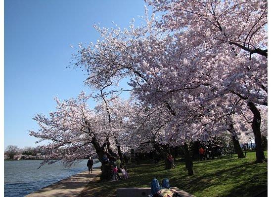 Kjøpesenteret: Cherry Blossoms.