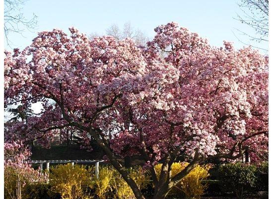 Kjøpesenteret: Cherry blossoms and forsythia.