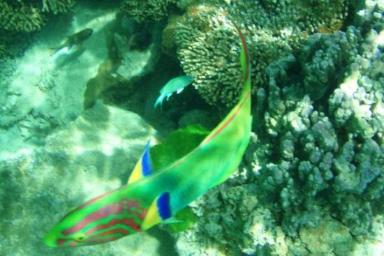 "Lord Howe Island, Australia: Green Moon Wrasse, swimming around the wreck of the ""Favourite""."