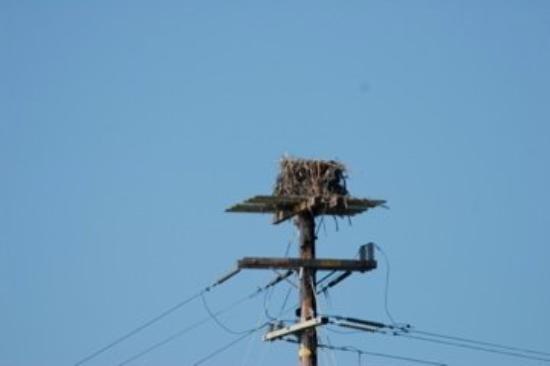 Eureka, CA, United States -- Osprey nest