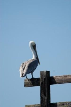 Eureka, CA, United States -- brown pelican