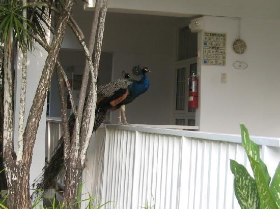 Royal Decameron Club Caribbean: Peacocks roamed the resort