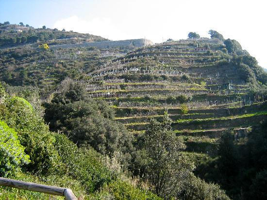 Hotel Punta Mesco: Terraced rows of grape vines