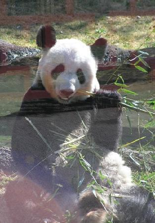 giant pands For a long time, scientists weren't sure if giant pandas were bears or perhaps  more closely related to raccoons now we know that giant pandas are indeed.