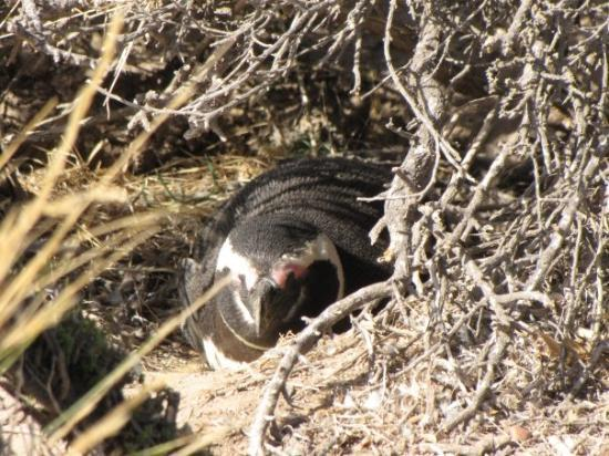 Gaiman, Argentina: Magellic Penguin sitting in its nest at the Punto Tombo Wildlife Reserve south of Gaimen