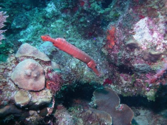 Grace Bay: Trumpet Fish