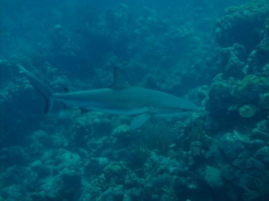 Providenciales: 6 ft Caribbean Reef Shark