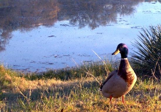 Roddy Tree Ranch: Ducks on the pond.