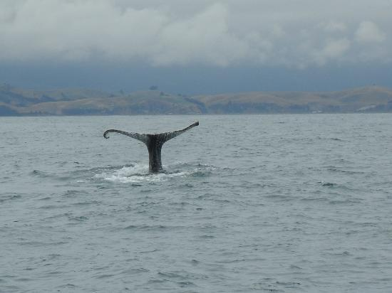 Kaikoura, Nueva Zelanda: sperm whale dives