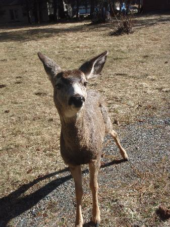 Wallowa Lake Resort: Super friendly deer