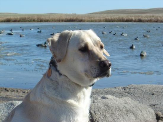 Medina, ND: North Dakota - Duck Hunt- Ready for action!