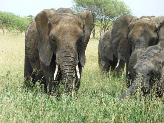Arusha, Tanzania: elephants