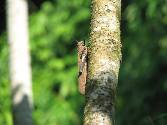 Finca Amanecer: Giant grasshopper