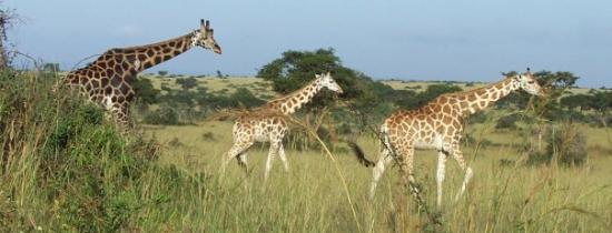 Kampala, Uganda: Mother Giraffe chasing her two children.