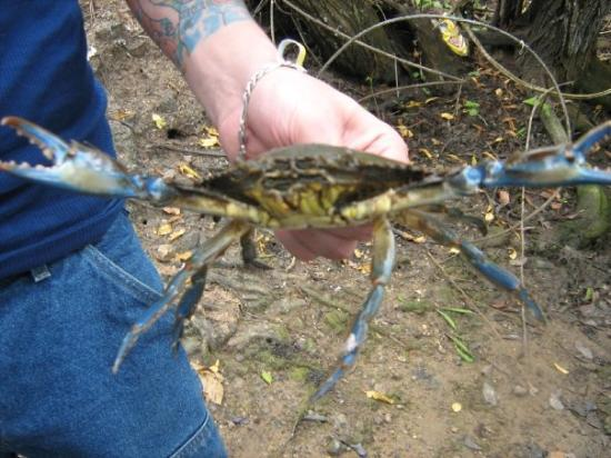 Quebradillas, Πουέρτο Ρίκο: Holy Hell, look at that blue crab that I caught but wouldnt touch...look at the claws