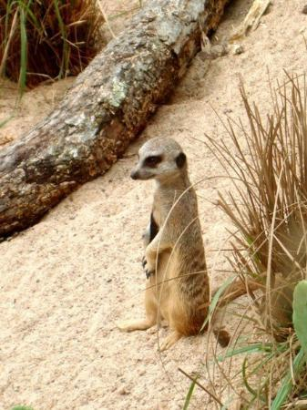 Zoo Atlanta: Meerkat!!!