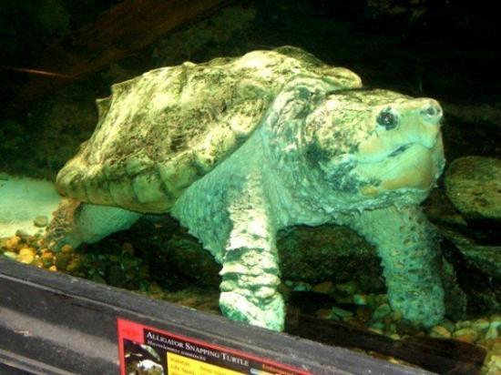 """Zoo Atlanta: The Alligator Snapping Turtle  """"The largest freshwater turtle in North America."""""""