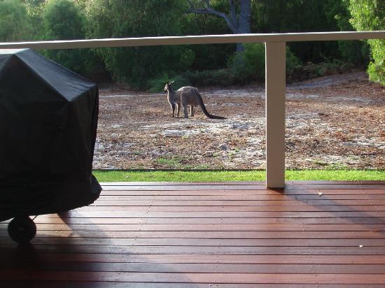 Acacia Chalets & Margaret River Beach Studios: Kangaroo