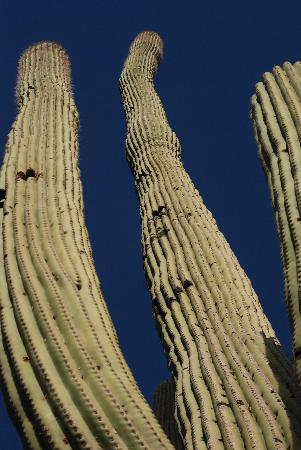 The Ritz-Carlton Dove Mountain: Saguaro cactus