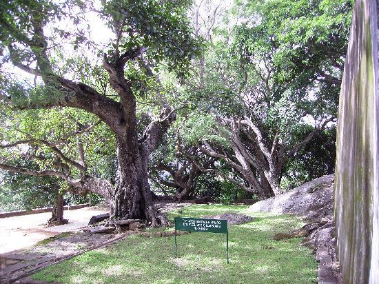 Ambohimanga: uralter Baum