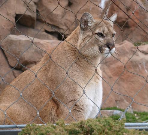 Saint Paul, MN: Pretty Kitty (Cougar)