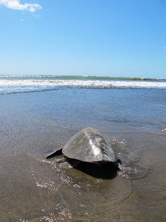 Hotel Playa Cambutal: Tortuga + Surf