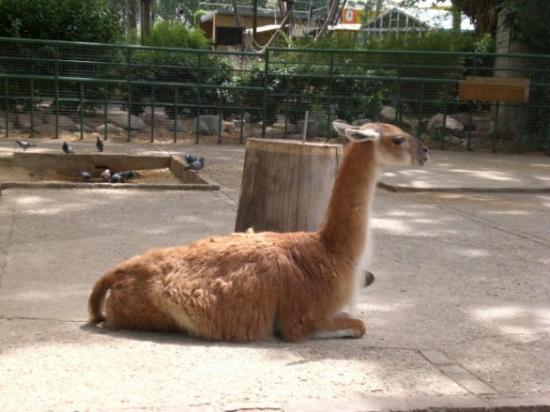 Barcelona Zoo: La llama:auquénido oriunda de los países andinos.