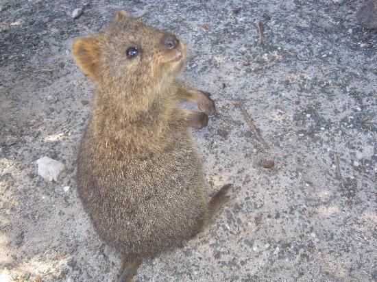 Νησί Rottnest, Αυστραλία: Quokkas!