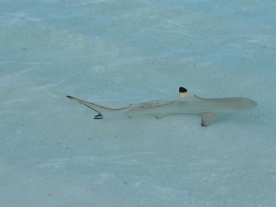 Diamonds Thudufushi : baby shark sulla riva