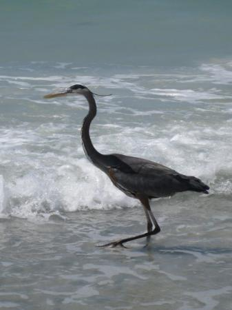 St. Pete Beach, Floryda: Blue herron