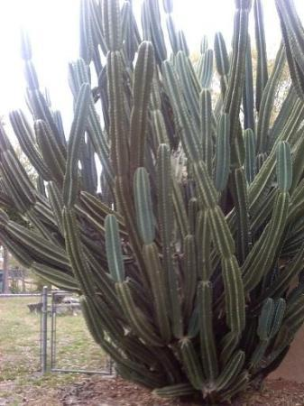 Winter Haven, Flórida: Look at this amazing cactus that my Mother and I spotted near Cypress Gardens on our recent trip