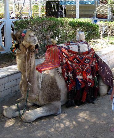Arabia Azur Resort : Kamel(Dromedar)-ridning på hotellstranden