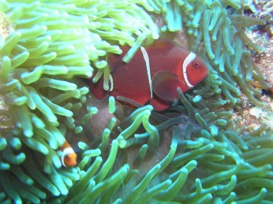 Bunaken Island, Indonésia: Anemonefish 2