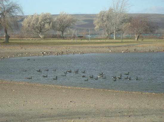 Boardman, OR: There were so many geese there this day