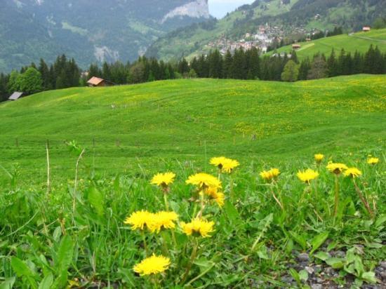 Wengen, İsviçre: 瑞士5月間, 遍地黃花, 美不勝收. 這些黃花, 學名是Taraxacum officinale, 在4~7月間散佈在600~2500m的山野間.