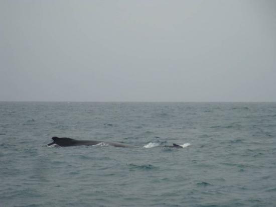 Boa Vista, Kapp Verde: Une baleine, croisée par hasard lors d'une sortie en catamaran...
