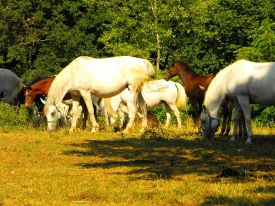 Heimaey, Slovenien: White mares and their brown foles
